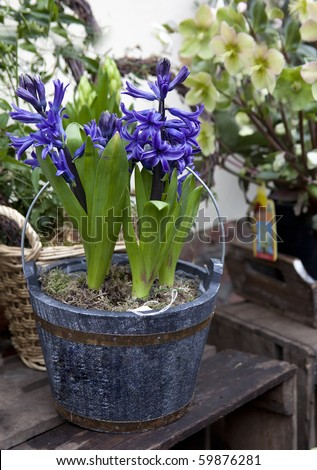 hyacinth in pot in street shop flower