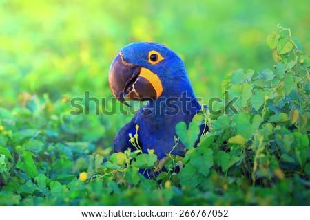 stock photo hyacinth macaw close up 266767052 - Каталог — Фотообои «Животные»