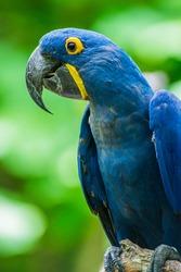 Hyacinth Macaw.  Scientific name: Anodorhynchus hyacinthinus