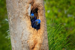 Hyacinth Macaw, two birds nesting, in tree nest cavity, Pantanal, Brazil, South America. Detail portrait of beautiful big blue parrots in nature habitat.