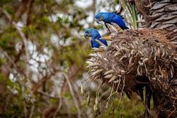 hyacinth macaws on a palm tree in the nature habitat, wild brasil, brasilian wildlife, birding, biggest parrot, blue magic, palm nuts, blue