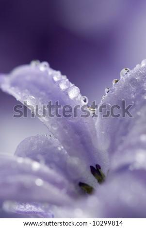 hyacinth petals with water drops