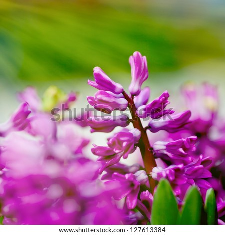 Hyacinth plants blooming in early spring in the park