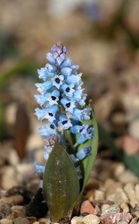 Hyacinthella inflorescence of small blue shaded florets