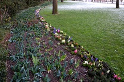 hyacinths bloom on the edge of a snowy lawn in a flowerbed in the undergrowth of trees near the lawn forming a color line of pink blue purple. the lawn is separated from the path by a low metal fence