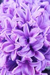 Hyacinths. Spring-blooming perennial flowers.  Fragrant flowering plants