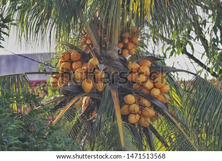 Hybrid coconut is the result of crossing to get superior varieties, namely from varieties of deep coconut and early maturing coconut so as to produce good characteristics from the two types.