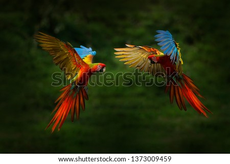 Photo of  Hybrid parrots in forest. Macaw parrot flying in dark green vegetation. Rare form Ara macao x Ara ambigua, in tropical forest, Costa Rica. Wildlife scene from tropical nature. Red bird in fly, jungle.