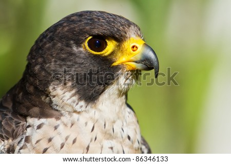 hybrid Saker Falcon and Peregrine Falcon portrait - stock photo