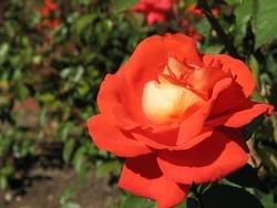 Hybrid Tea Rose in Botanical Garden in Hershey, PA