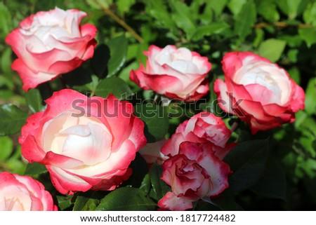 Hybrid tea rose Nostalgie by Tantau Photo stock ©