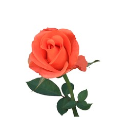 Hybrid tea rose, Rhodon, Rose, Close up orange-red rose flowers branch isolated on white background. The side of exotic flower.