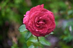 Hybrid Tea Rose â?? Rosa 'Mr Lincoln'
