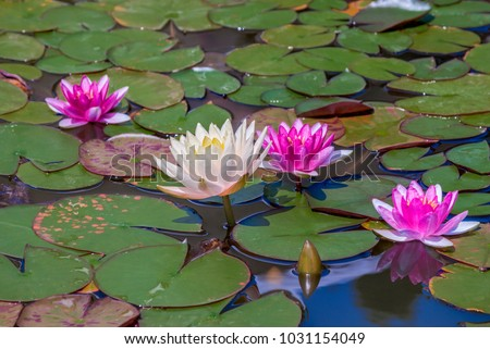 Hybrid Waterlily (Nymphaea hybridum) in botanical garden, Yalta, Crimea #1031154049