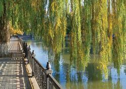 Hybrid weeping willows (Salix babylonica) in autumn. Quay of Salgir River in Simferopol, Crimea