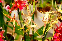 Hybrids Cambria. Beautiful orchid. Home decoration.