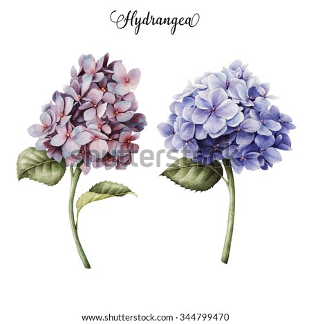 Hydrangea and leaves, watercolor, can be used as greeting card, invitation card for wedding, birthday and other holiday and  summer background.