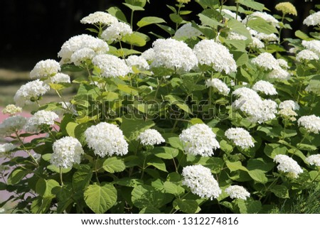 Hydrangea arborescens or Smooth hydrangea with white flowers and green foliage in garden. General view of flowering plant