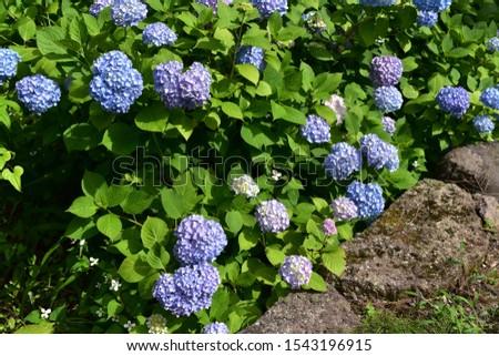 Hydrangea blooms in full bloom #1543196915