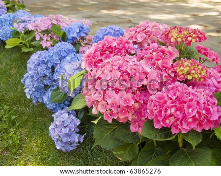 Hydrangea blue and pink flowers at the garden - stock photo