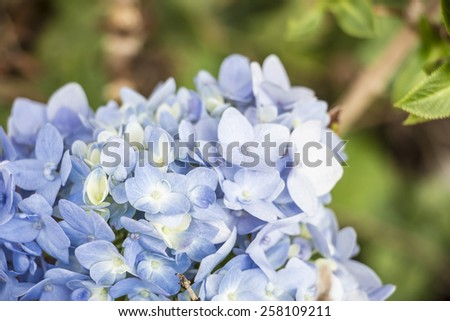 hydrangea flower (Hydrangea macrophylla)
