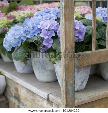 hydrangea. Flower in flower`s shop . Summer time. Flowers standing on the wood bench