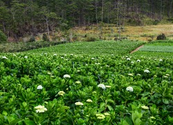 Hydrangea flower plantation in Dalat, Vietnam. Dalat is a city located on Lang Biang highland is a part of the Central Highlands region of Vietnam.