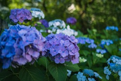 Hydrangea flowers are blooming in rainy season