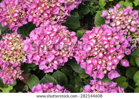 hydrangea flowers, hydrangea plant with pink flower , close up photo,  flower petals very evident,photo  from above , natural light ,