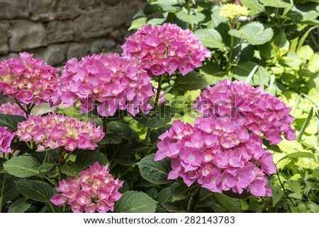 hydrangea flowers, hydrangea plant with pink flower , close up photo, perspective view, flower petals very evident, natural light ,wall background
