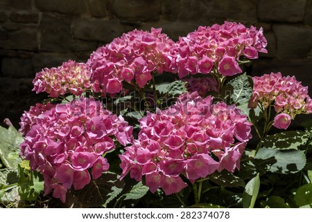hydrangea flowers, hydrangea plant with pink flower , closeup photo, flower petals very evident, front view, natural light ,dark background of the wall