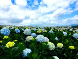 Hydrangea flowers on a field with cloudy and blue sky in DaLat Vietnam