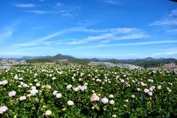Hydrangea Garden at Dalat Vietnam