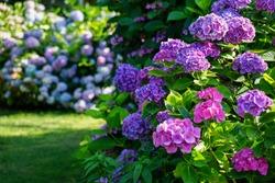 Hydrangea garden in Maishima, Osaka