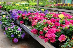 Hydrangea greenhouse plants, flower nursery, Netherlands
