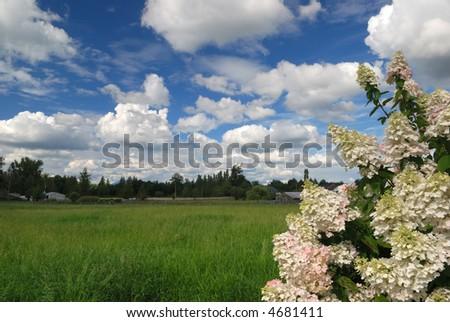 hydrangea in a farm - stock photo