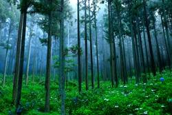 Hydrangea in the Forest, Ichinoseki City, Iwate Prefecture