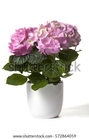 Hydrangea in white flower pot #572864059