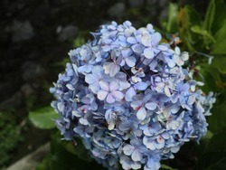 Hydrangea macrophylla blue flower is a type of flowering plant categorized as a shrub that has very beautiful flower buds in cluster.