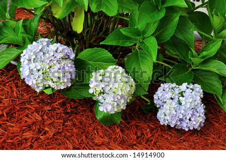 Hydrangea Macrophylla Plant in shades of blue and lavender.