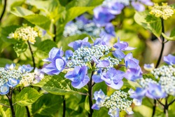 """Hydrangea macrophylla. This flowering plant is native to Japan and is known as bigleaf hydrangea, French hydrangea, penny mac and hortensia. This species is the Hydrangea macrophylla """"Zorro""""."""
