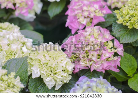 Hydrangea or hortensia flowers bloom from june to september white hydrangea or hortensia flowers bloom from june to september white purple pink mightylinksfo