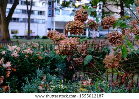 Hydrangea or Hortensia garden shrub dried shriveled pink flowers with pointy petals surrounded with thick leathery green leaves planted in garden on an autumn afternoon. Dry, hortensia flowers.