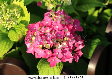 Hydrangea or Hortensia garden shrub fully open blooming pink flowers with pointy petals surrounded with thick leathery green leaves planted in local urban garden on warm sunny spring day