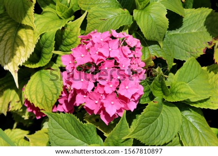Hydrangea or Hortensia garden shrub large bunch of small open blooming pink flowers with pointy petals surrounded with dense thick leathery green leaves planted in local home garden on warm sunny