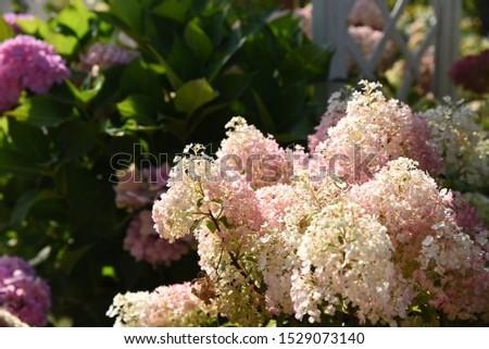 Hydrangea paniculata sort Bobo: a branch of a blossoming hydrangeas Foto stock ©