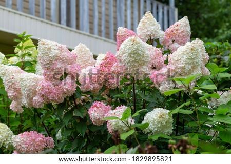 Hydrangea paniculata Vanille Fraise on a stem Stockfoto ©