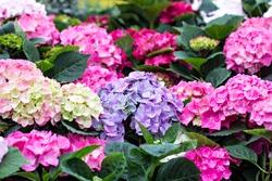 Hydrangea, soft focus, noise added. Beautiful flowers. Beauty in nature.  Hydrangea macrophylla - Beautiful bush of hydrangea flowers in a flowers market