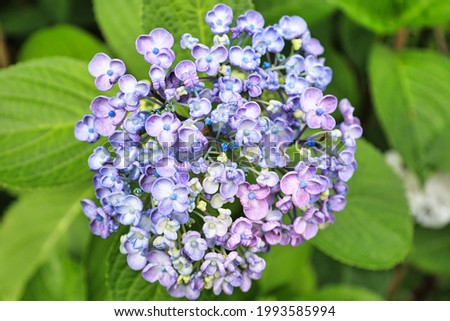 Hydrangea that blooms beautifully during the rainy season in early summer June, red purple, bluish purple