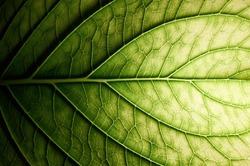 Hydrangea. Vessels of green leaf.